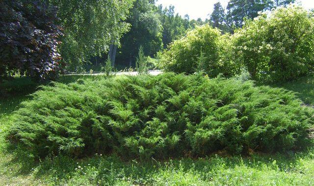 mozhzhevelnik-…lnyiy-greensad