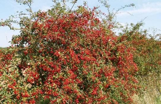 hawthorn berries shropshire september 2006 600x450 Боярышник.