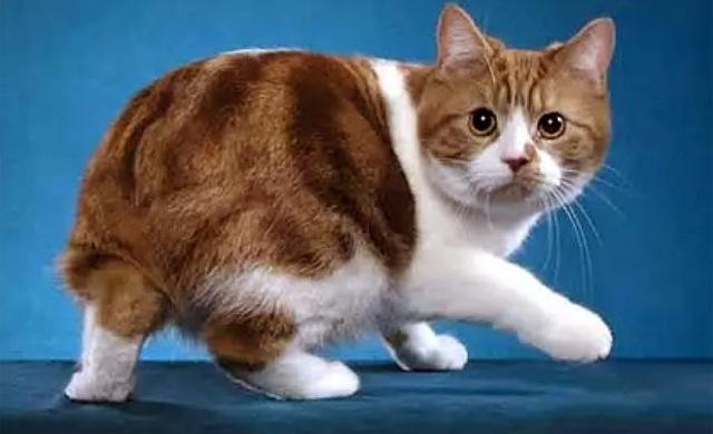 Manx cat 3 143535467768 www.vancats.ru  Манксы и сфинксы