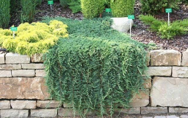 Juniperus horizontalis1 Можжевельник горизонтальный, Greensad.