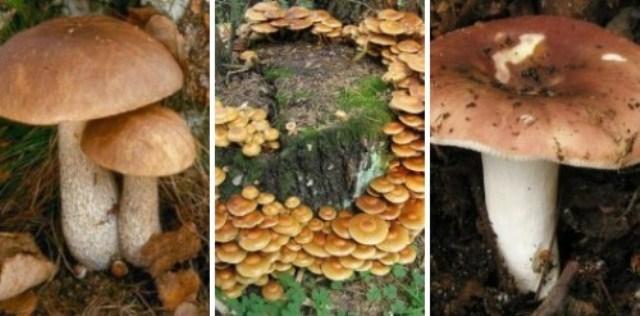 griby Эти грибы вкусные и полезные